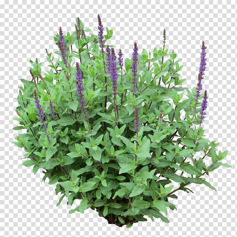 Shrub Tree , Bush Purple, green and purple leafed plant.