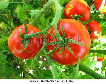 Tomato Field Stock Photos, Royalty.