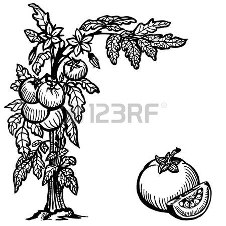 6,427 Tomato Plant Cliparts, Stock Vector And Royalty Free Tomato.