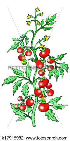 Clipart of Bush tomato on white background k17915982.