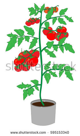 Tomato Plant Stock Images, Royalty.
