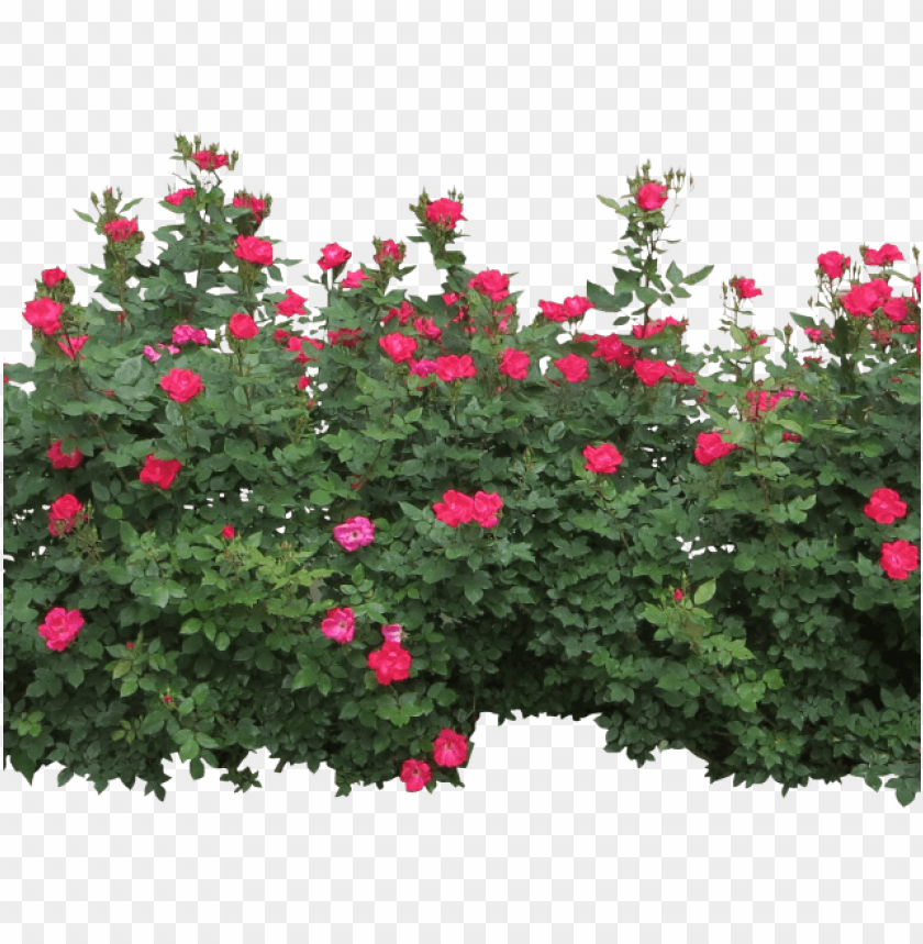 rose bush clipart row.