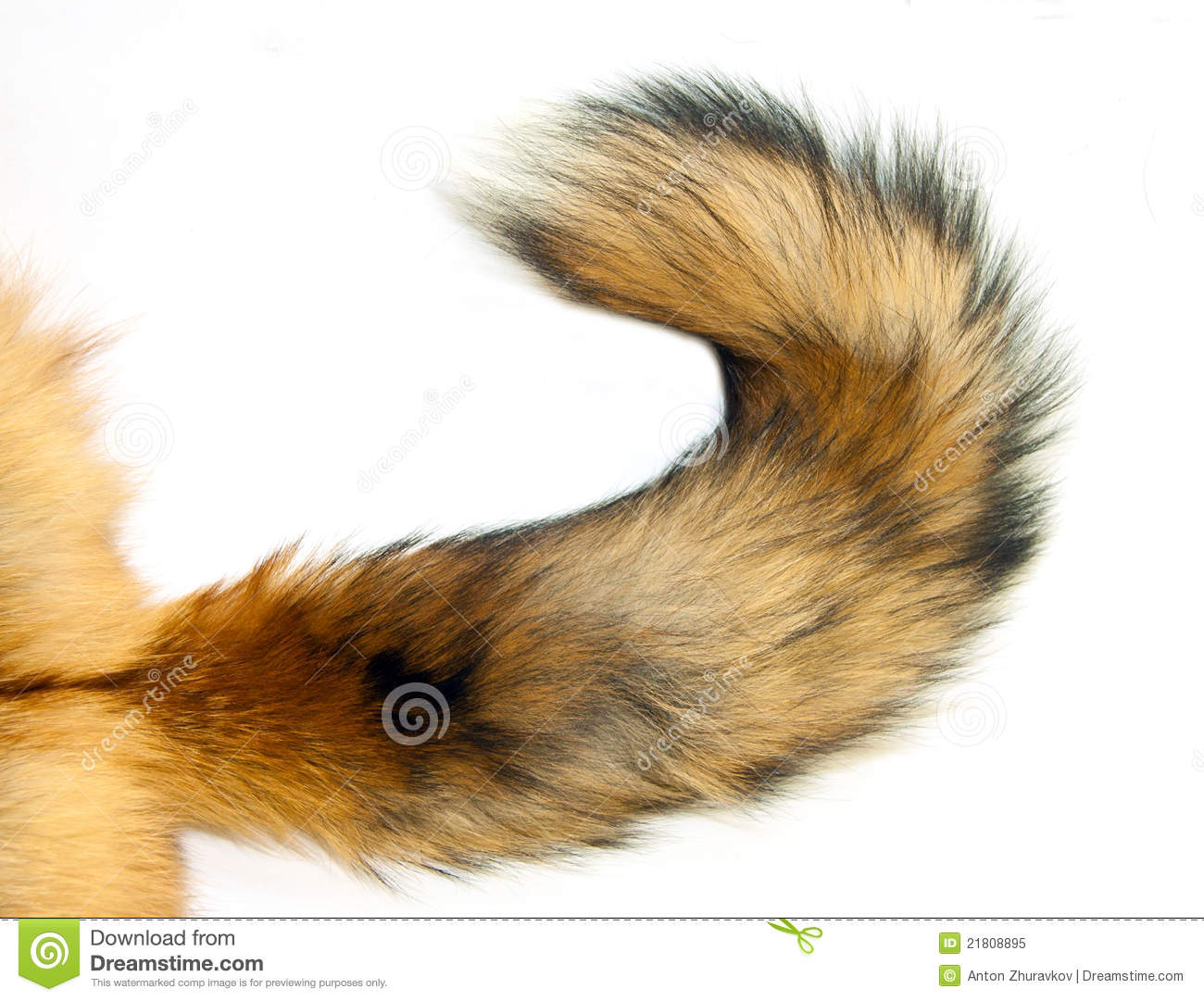 Fox Without A Tail Stock Images.