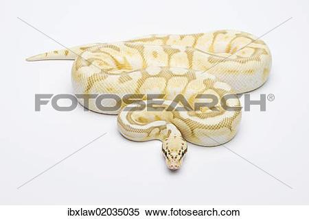 """Stock Image of """"Killer Bee Butter Ball Python or Royal Python."""
