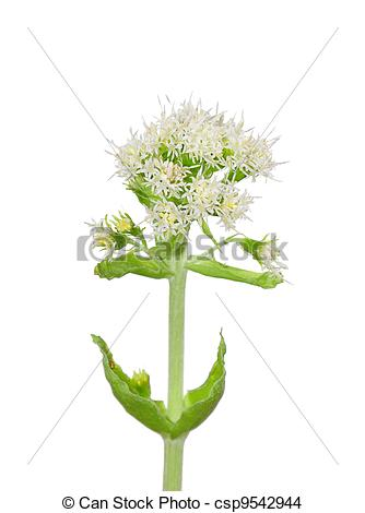 Stock Photo of White Butterbur (Petasites albus) csp9542944.