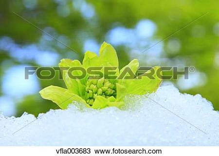 Stock Photo of Butterbur Sprout vfla003683.