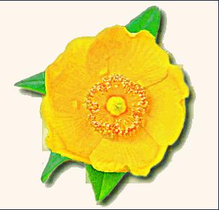 buttercup clip art.