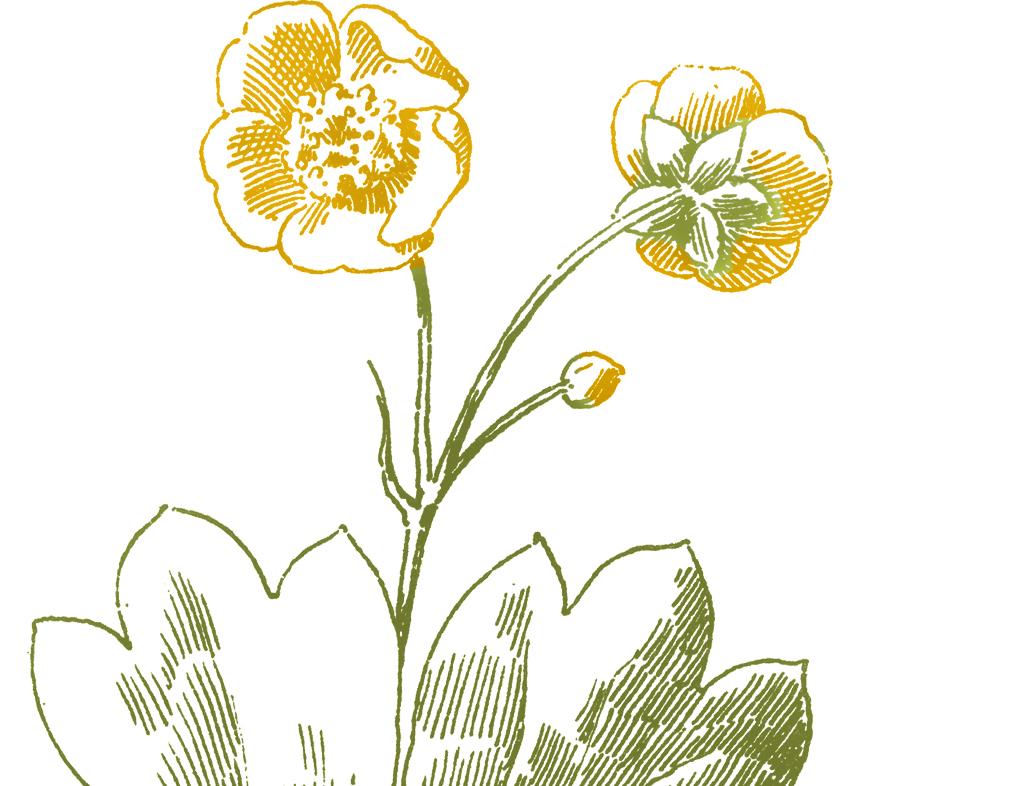 Buttercup Flower Images.