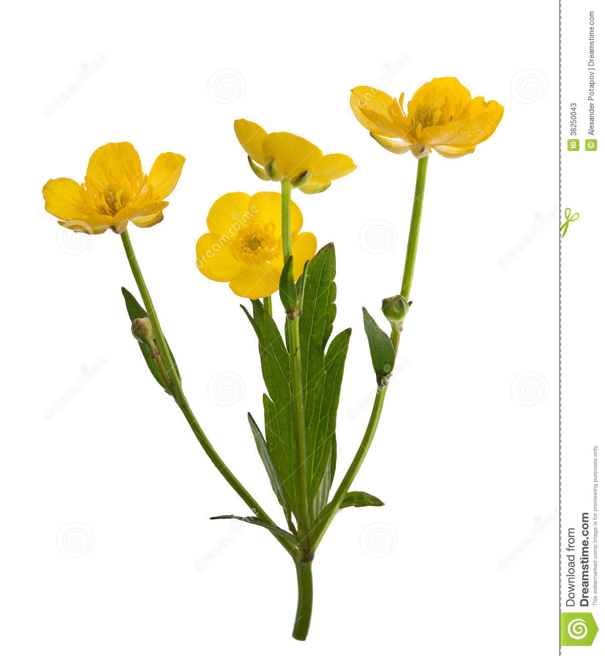 Four Yellow Buttercup Flowers Stock Photos.