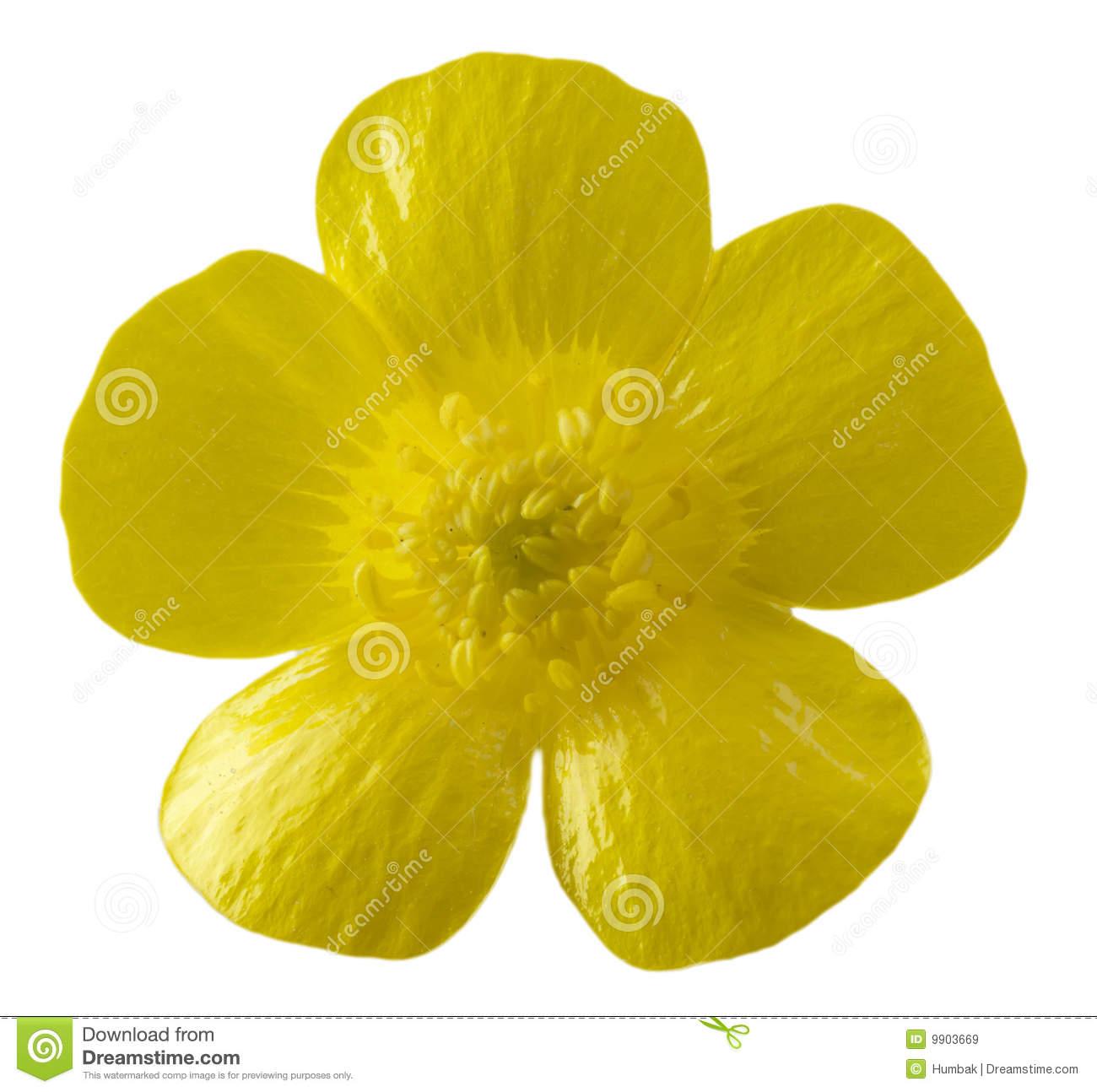 Buttercup Flower Clip Art.