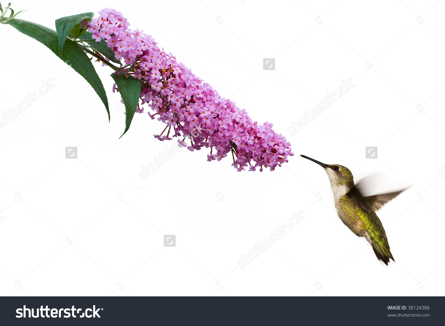 Female Ruby Throated Hummingbird Hovers Near Pink Butterfly Bush.