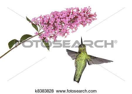 Pictures of hummingbird floats under a butterfly bush k8383828.