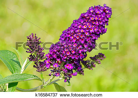 Picture of butterfly bush k16584737.