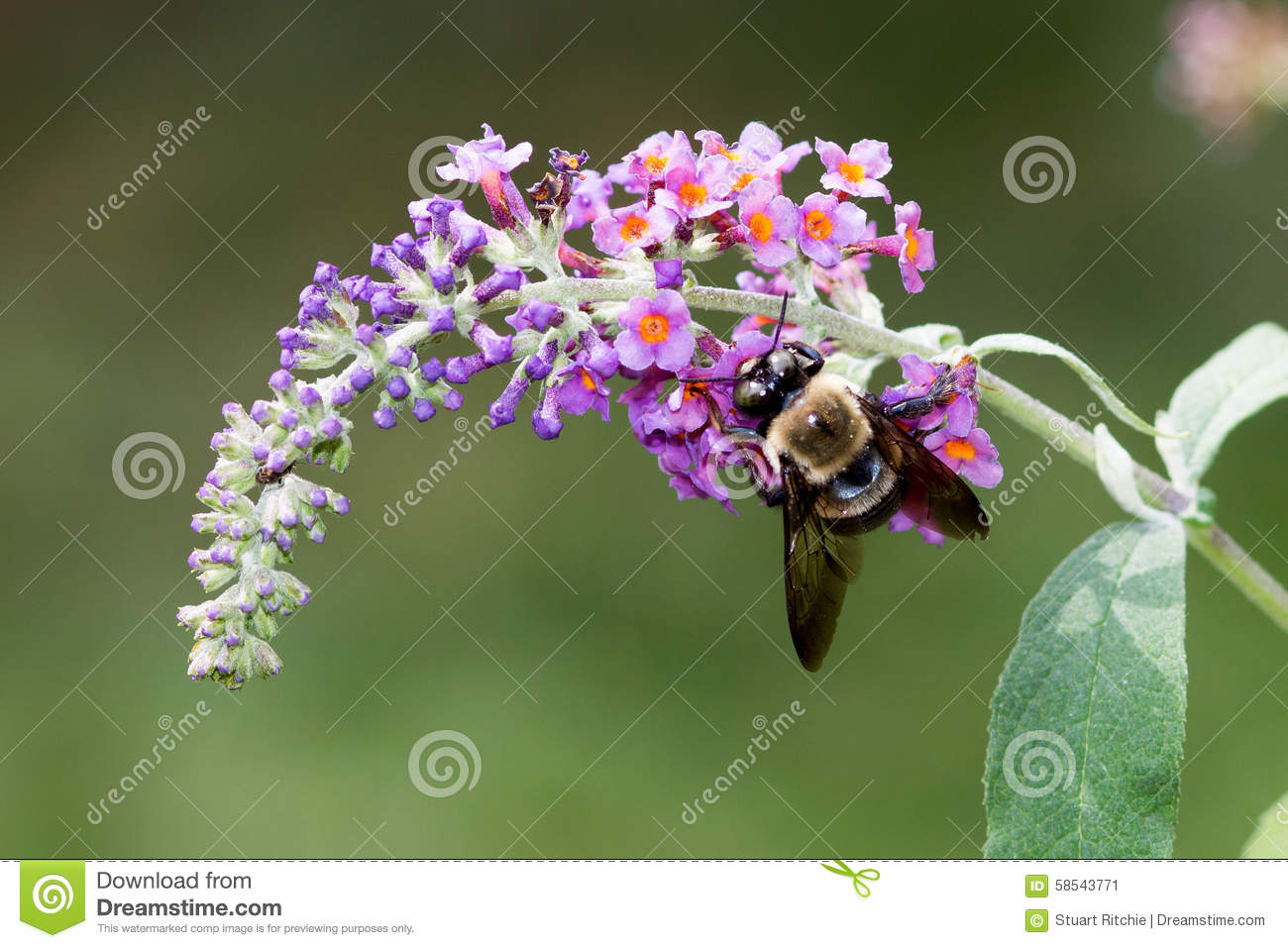 Bumble Bee On Butterfly Bush Stock Photo.