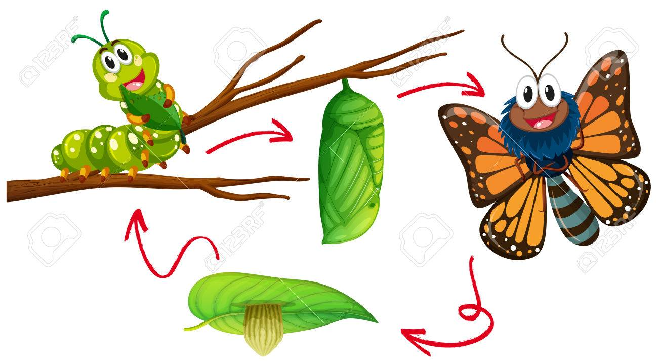Butterfly life cycle diagram illustration.