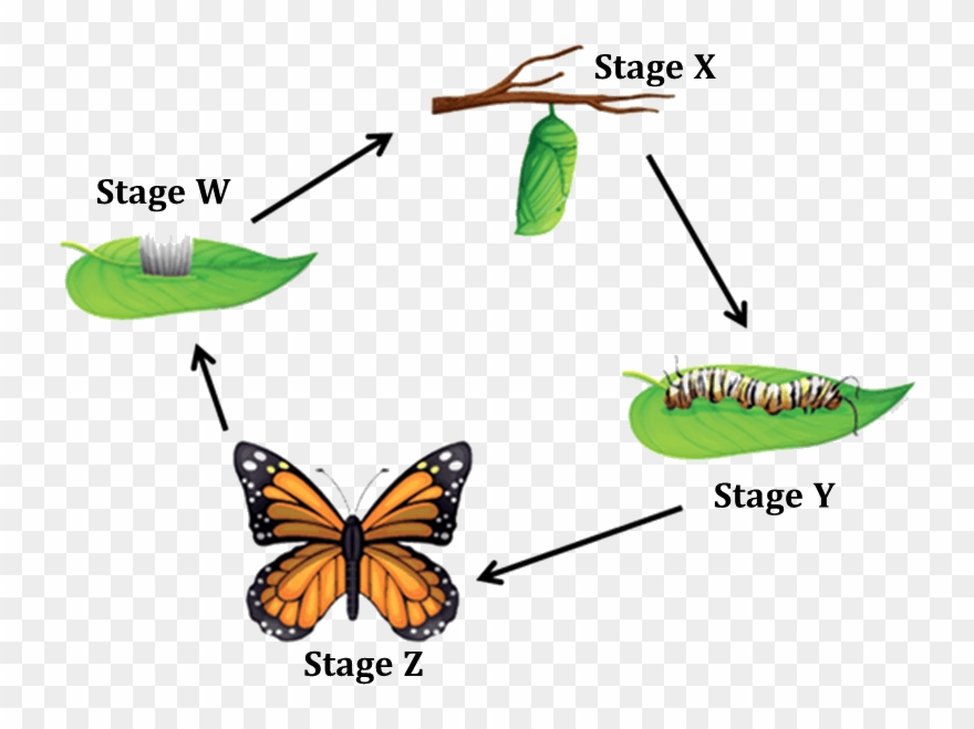 Figure Shows The Life Cycle Of A Butterfly Clipart (#2766201.