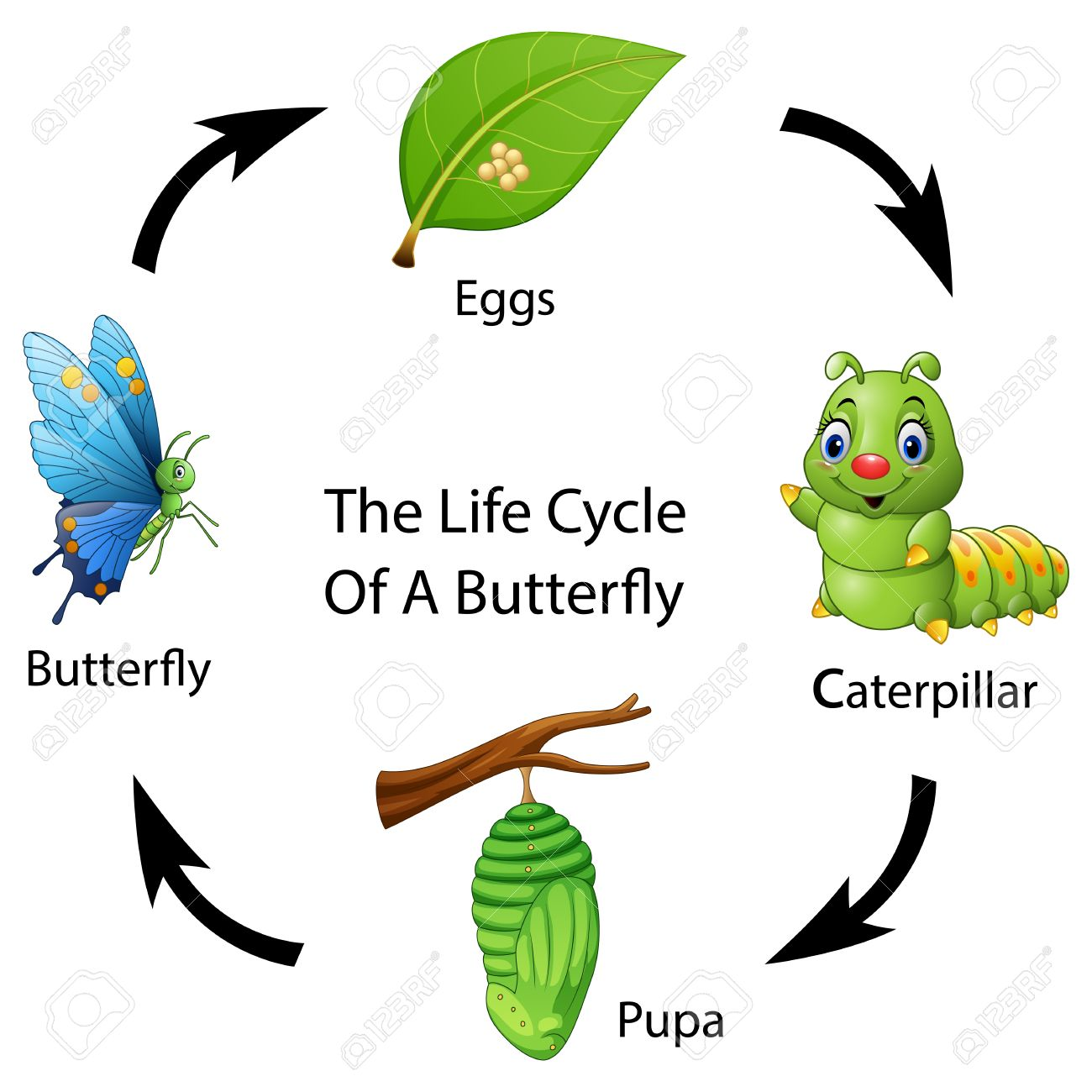 Vector illustration of The life cycle of a butterfly.