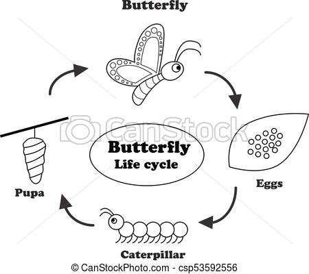 Butterfly life cycle in outline style, vector.