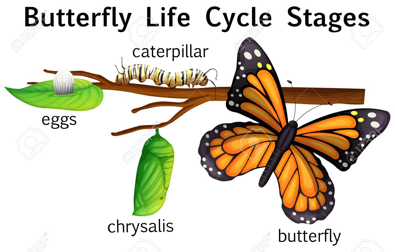 Butterfly life cycle stages illustration.