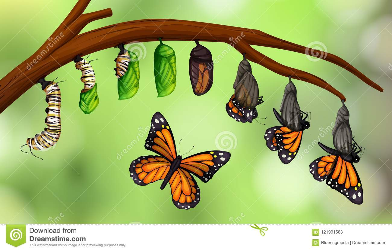 Science Butterfly Life Cycle Stock Vector.
