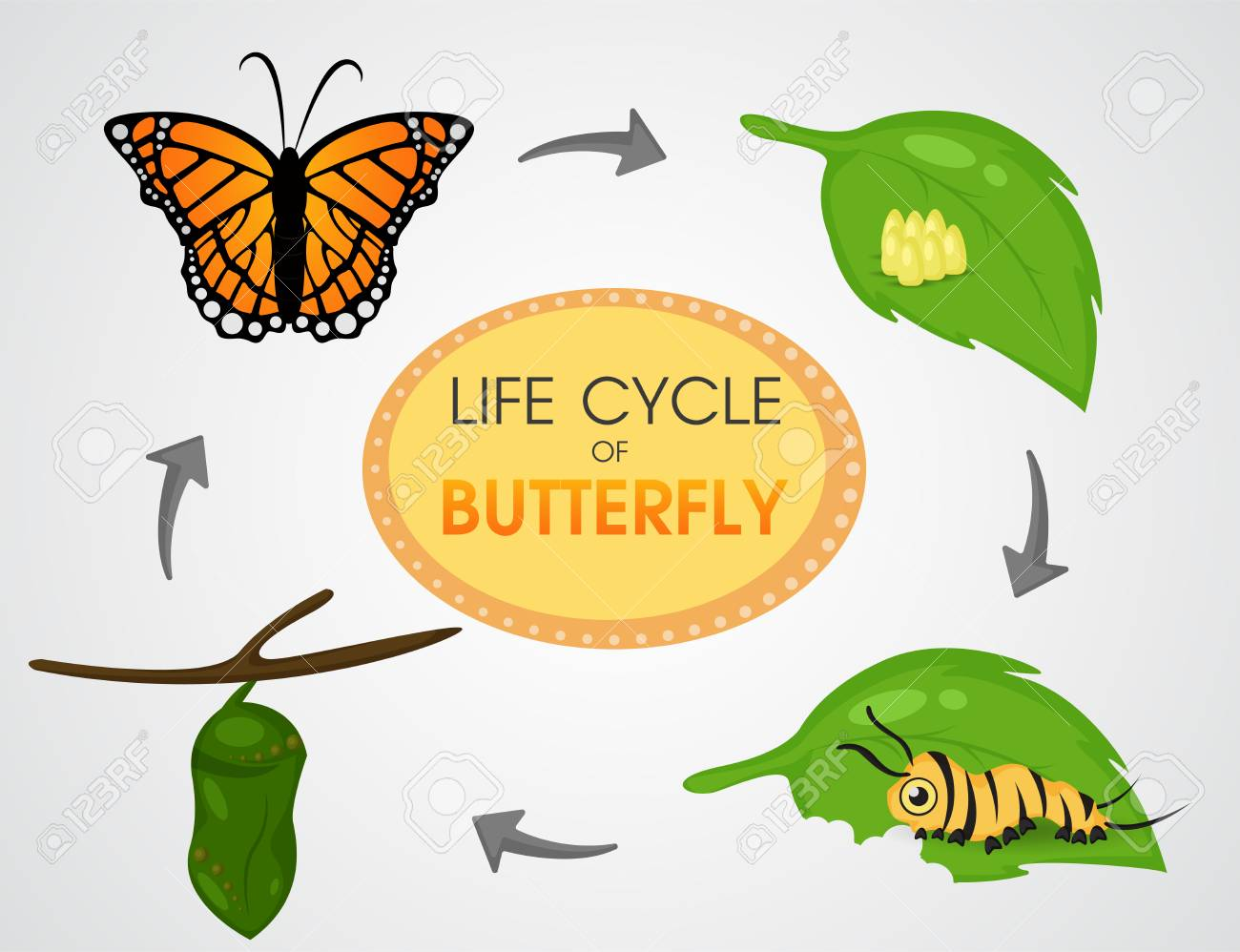 Life cycle of Butterfly..