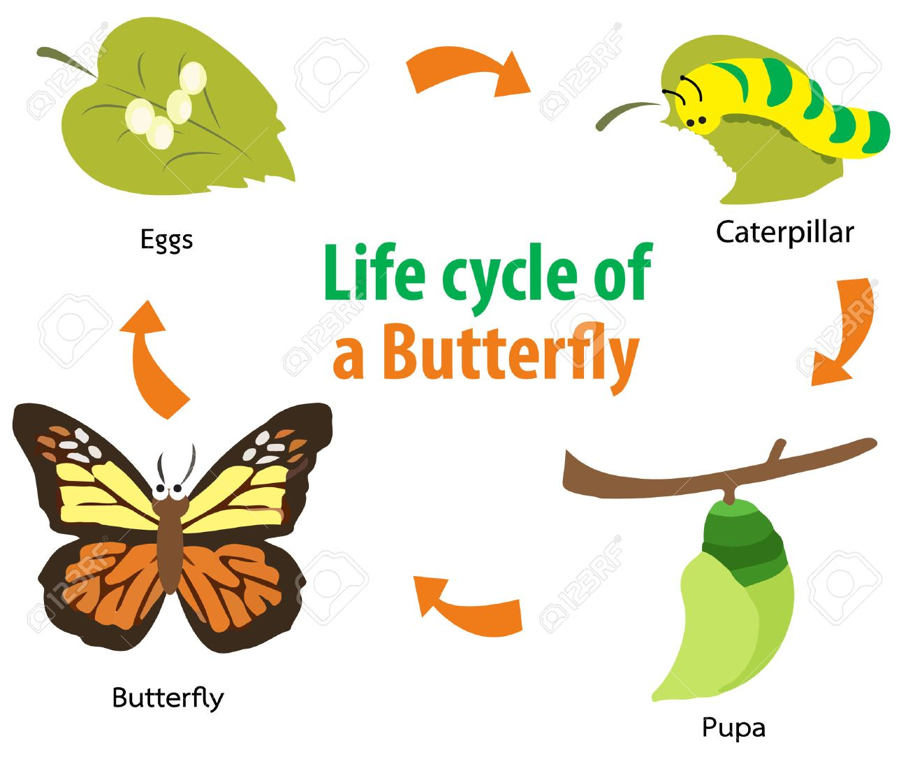 Vector illustration of Butterfly life cycle.