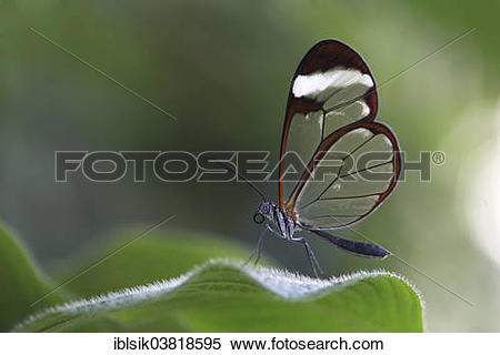 "Stock Image of ""Glasswinged Butterfly (Greta oto) on a leaf."