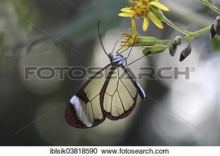 "Stock Photography of ""Glasswinged Butterfly (Greta oto), butterfly."