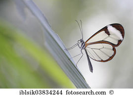 Clearwing moth Stock Photo Images. 67 clearwing moth royalty free.