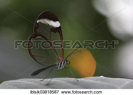 """Picture of """"Glasswinged Butterfly (Greta oto) on a leaf, butterfly."""