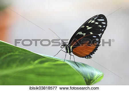 """Picture of """"Hecale Longwing (Heliconius hecale zuleika) on a leaf."""