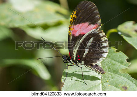Stock Photo of Heliconius besckei tropical butterfly in the.
