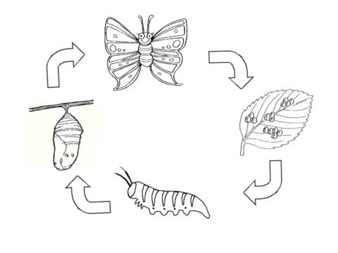 Life cycle of a butterfly (class 3.