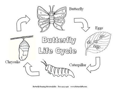 Free Worksheets » Life Cycle Of A Butterfly Worksheet.