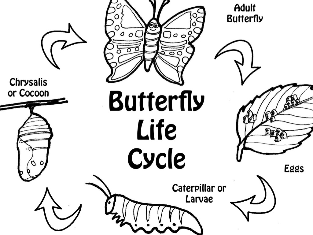 Life Cycle Of A Butterfly by Abbie Hopen.