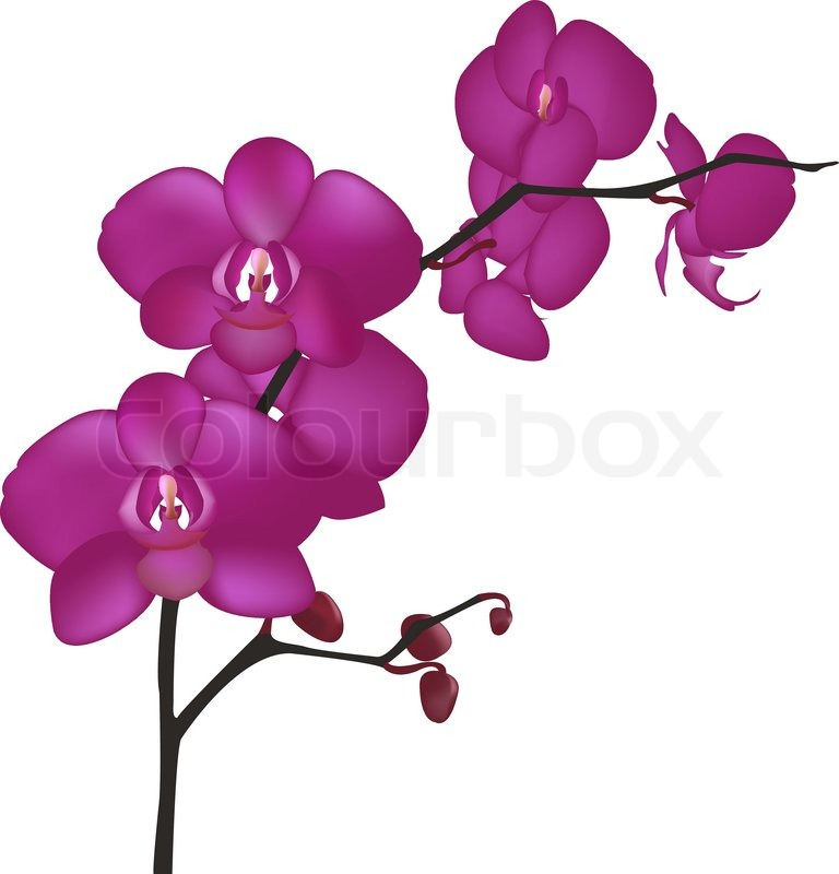 Orchid Branch, Isolated On White Background, Vector Illustration.