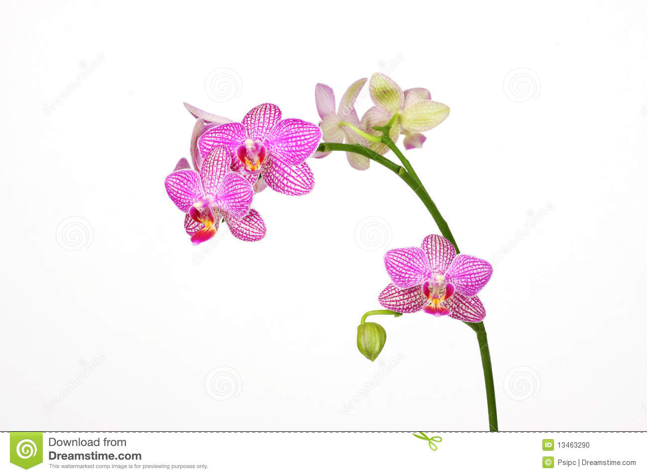Orchid Stock Photo.
