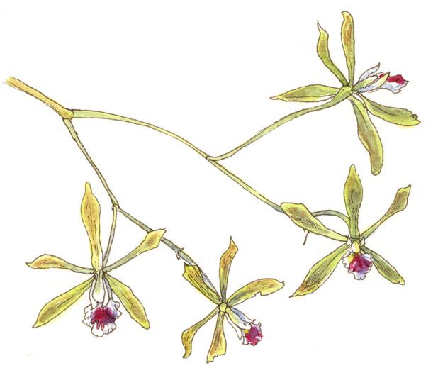 A Nature Art Journal in Southwest Florida: Florida Butterfly Orchid.