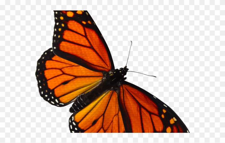 Monarch Butterfly Clipart Overlay.