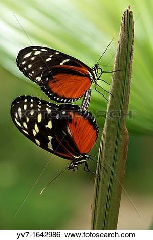 Stock Images of Mating of butterflies Heliconius hecale.