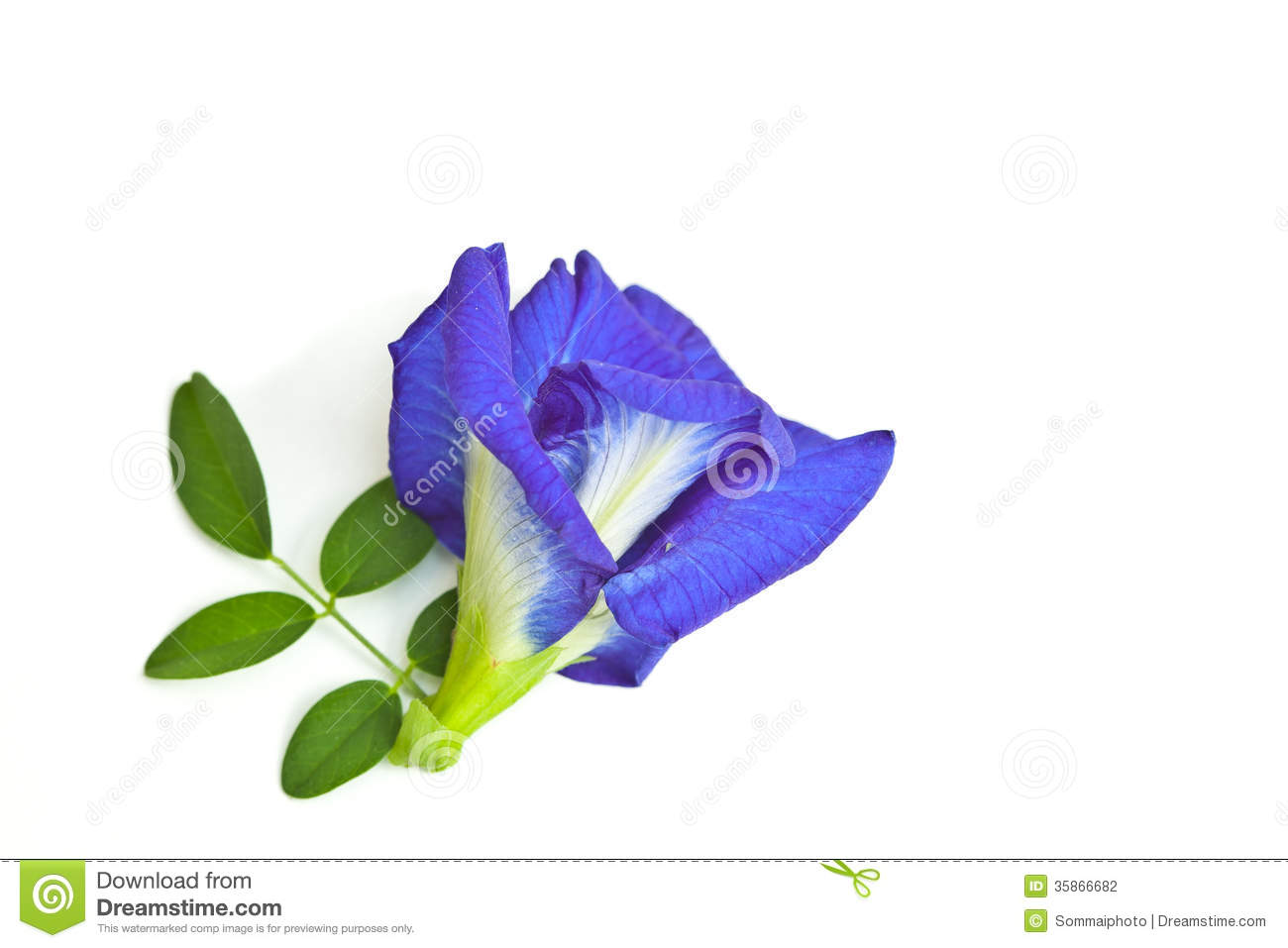 Butterfly Pea Stock Photography.