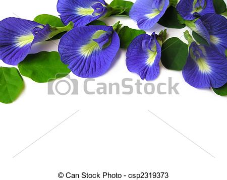 Stock Photos of Butterfly Pea Thirteen.