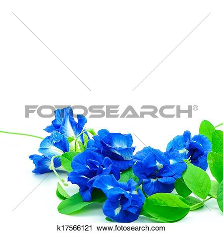 Picture of Butterfly Pea Flower k21976317.