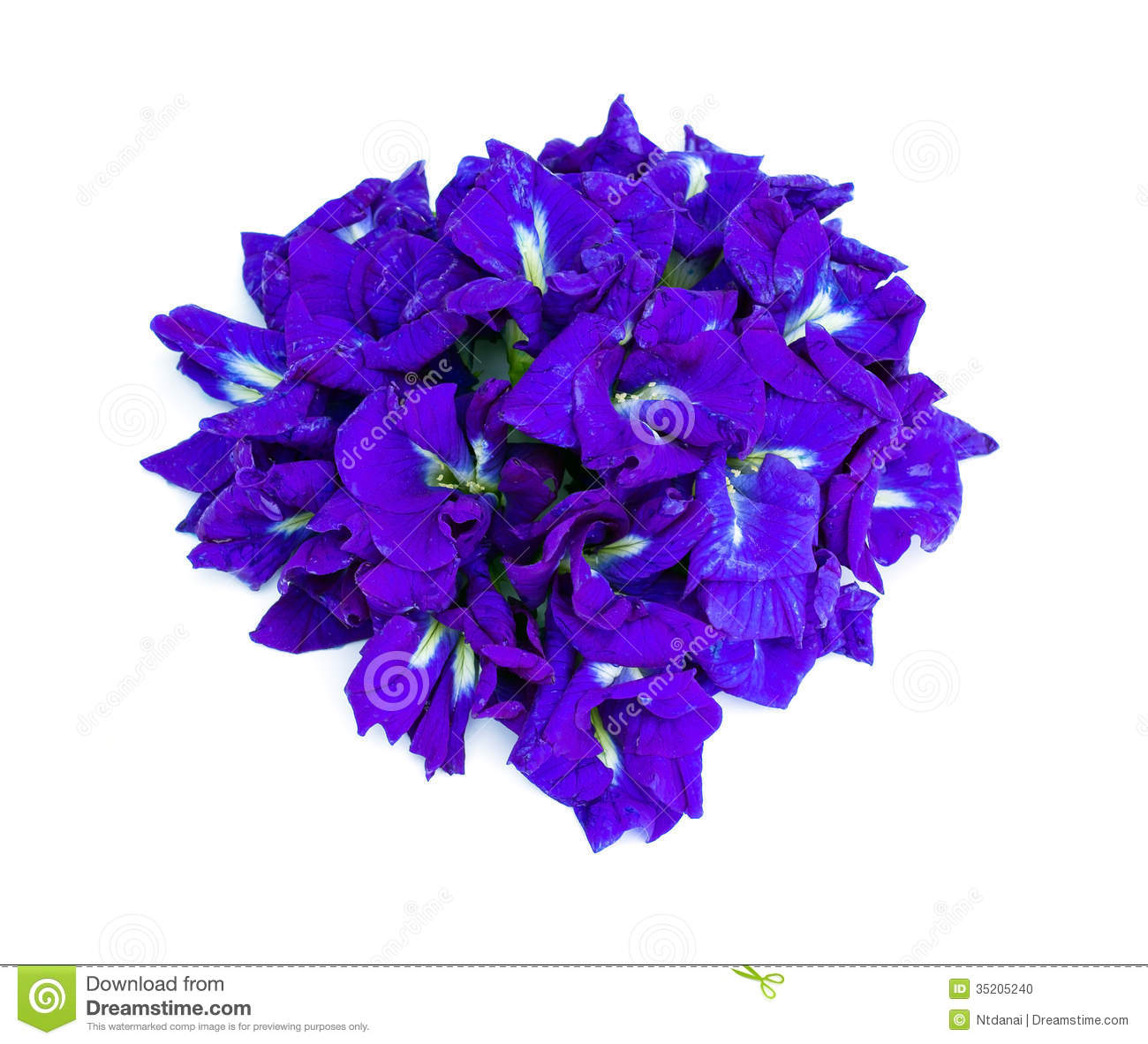 Blue Butterfly Pea Flower Stock Photo.