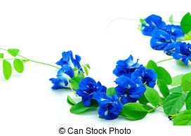 Butterfly pea Stock Photos and Images. 996 Butterfly pea pictures.