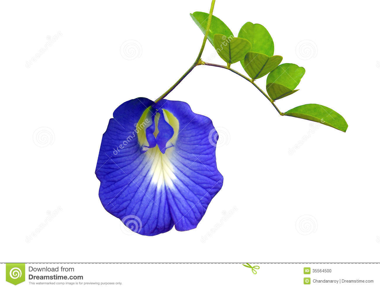 Butterfly pea clipart.