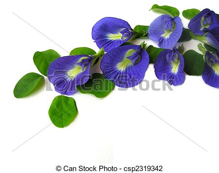 Stock Photographs of Butterfly Pea Nine.