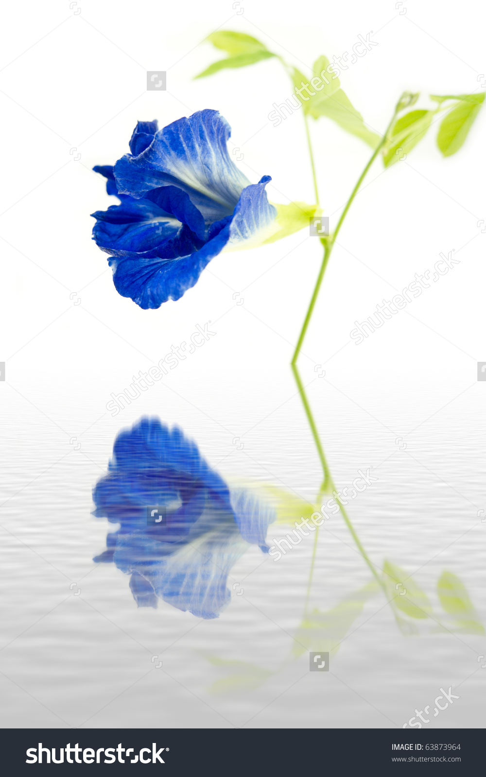 Blue Butterfly Pea Flower And Water Reflections Stock Photo.