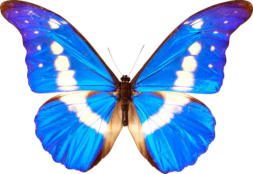 Butterfly PNG Free Download.