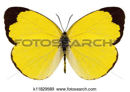 "Stock Photograph of Butterfly species Eurema alitha ""grass yellow."